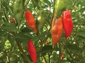 HOT CHILLI PEPPER- HABANERO MAYA RED