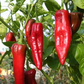HOT CHILLI PEPPER- NUMEX BIG JIM