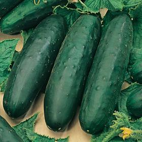 CUCUMBER - MARKETMORE 76