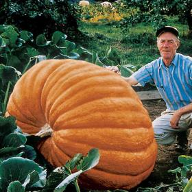 PUMPKIN - ATLANTIC GIANT