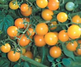TOMATO - CURRANTO YELLOW