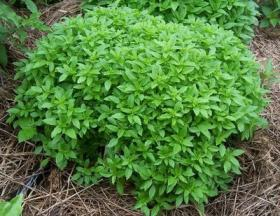 BASIL - SPICY GLOBE BUSH