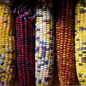 FLINT CORN - FIESTA