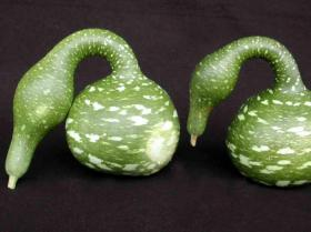 GOURD- SPECKLED SWAN