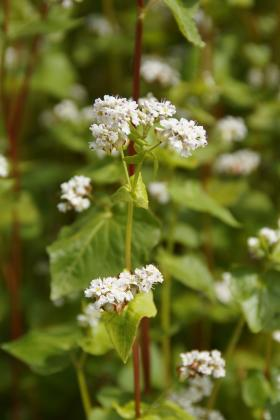 Buckwheat- green manure