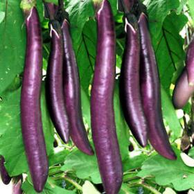 AUBERGINE- LONG PURPLE