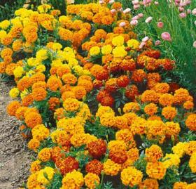 FRENCH MARIGOLD – SPARKY MIX