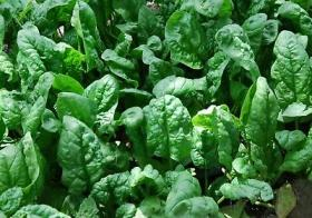 SPINACH - GIANT WINTER- GIGANTE D`INVERNO