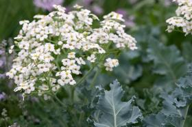 SEA KALE - LILY-WHITE