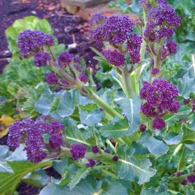 BROCCOLI - EARLY PURPLE SPROUTING