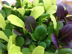 Salad Leaf Mix Pak Choi Colour Crunch Blend