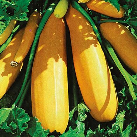 Packet - COURGETTE / ZUCCHINI - GOLDENA - organic seeds