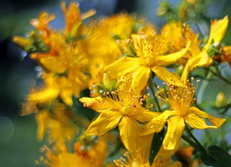 Packet - ST. JOHN´S WORT - organic seeds