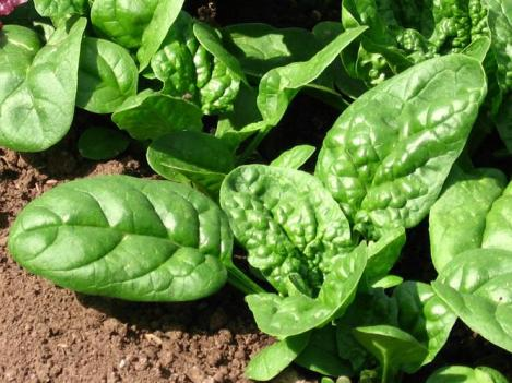 Packet - SPINACH - PLALCO F1 - organic seeds
