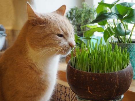 Packet - Barley grass seeds for cats or sprouting