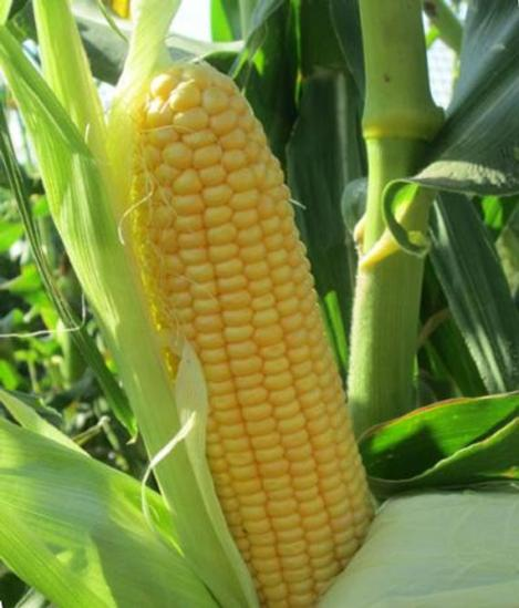 Packet - Sugar Corn TRUE SWEET GOLD - organic seeds