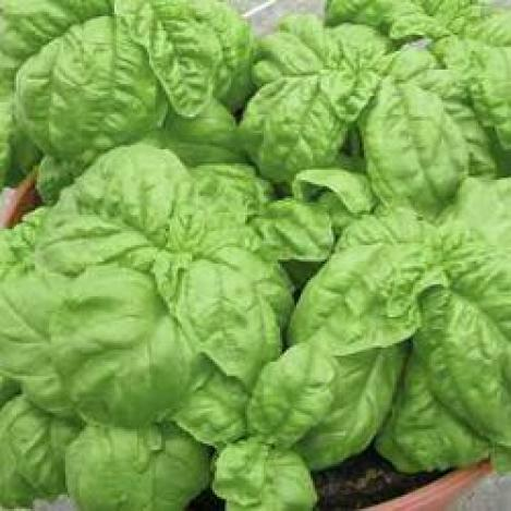 Packet - BASIL FOGLIE DI LATTUGA - organic seeds