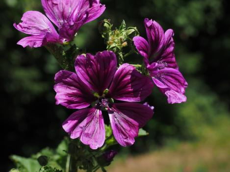 Packet - Common mallow