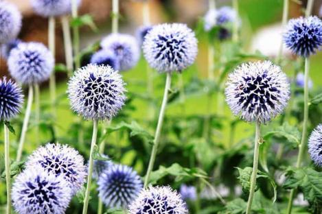 Packet - Great Globe Thistle - organic seeds
